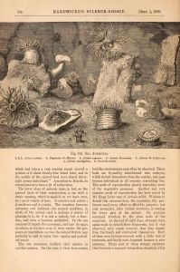 Another beautiful illustration, this time from Hardwicke's Science Gossip. Sea Anemones, Science Gossip, 1869, p.204