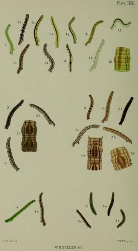 Buckler Larvae
