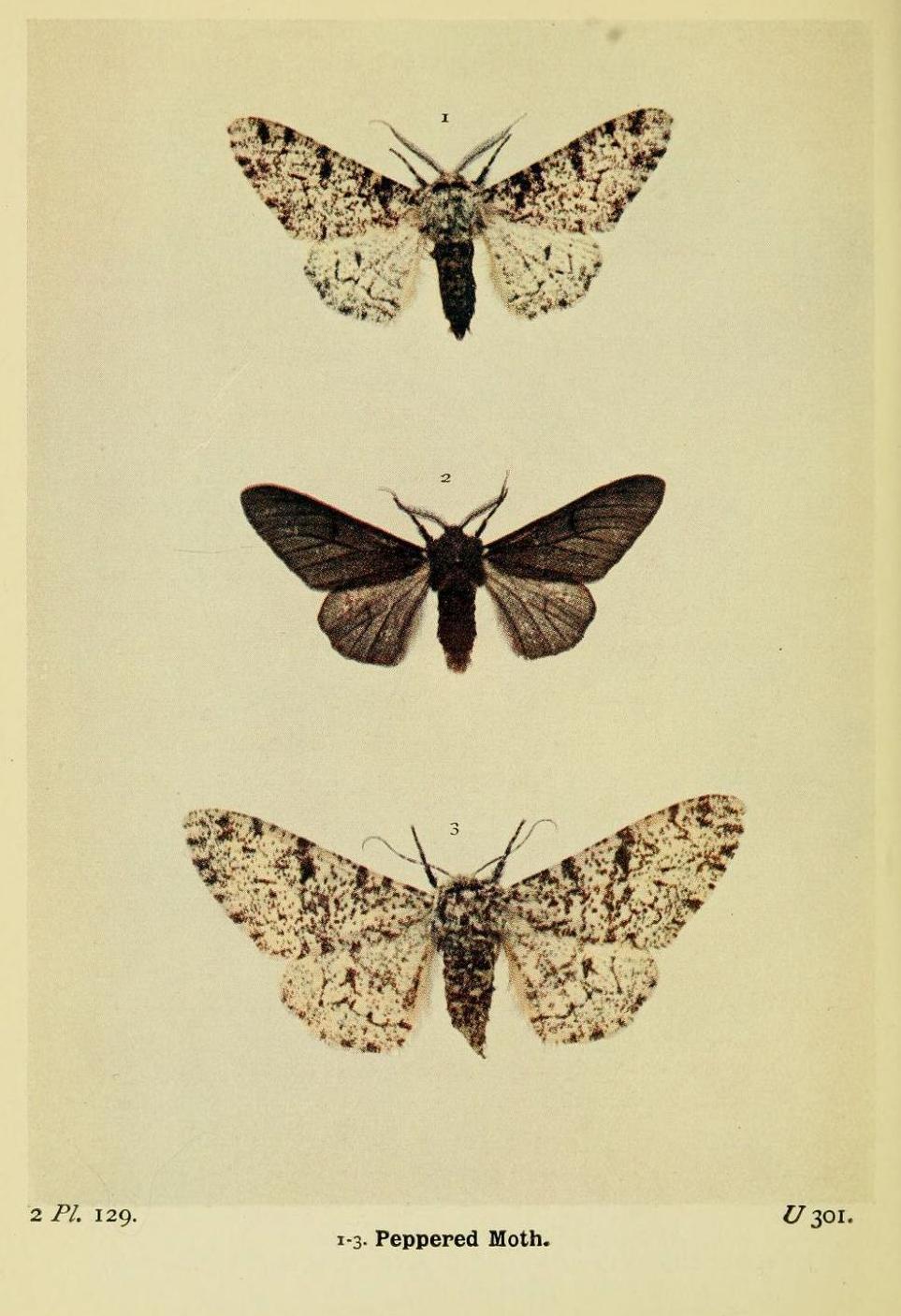 peppered moth.jpg